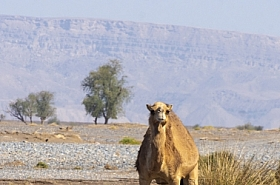 Omani Stock Photo of Nature, Camel, WIldlife