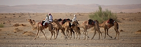 Omani Stock Photo of Caravan of camels in Oman