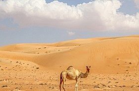 Omani Stock Photo of Camels, Animal